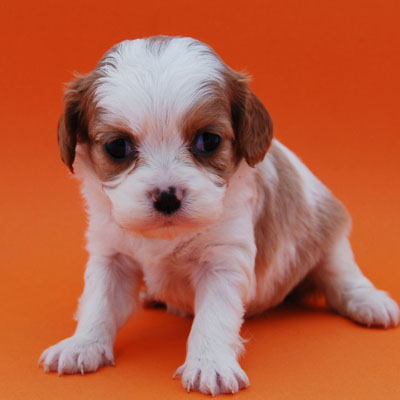 Chevromist Kennels Cavoodle puppy (Cavalier King Charles Spaniel X Poodle)