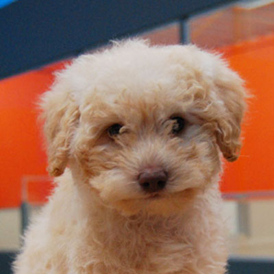 Chevromist Kennels Labradoodle puppy (Poodle (Mini or Standard size X Labrador Retriever)