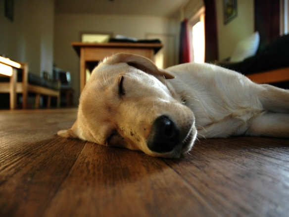 Dog asleep on the floorboards