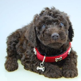 Chevromist Kennels Groodle puppy (Poodle (Mini or Standard size X Golden Retriever)