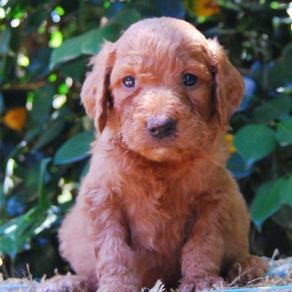 Chevromist Kennels Groodle puppy (Poodle (Mini or Standard size X Golden Retriever)