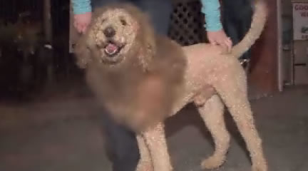 Labradoodle mistaken for a lion
