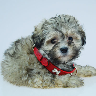Chevromist Kennels Moodle puppy (Poodle (Mini or Toy size X Maltese)