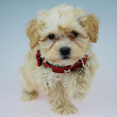 Chevromist Kennels Moodle puppy (Poodle (Mini or Toy size X Maltese)