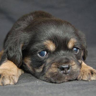 Chevromist Kennels Pugalier puppy (Pug X Cavalier King Charles Spaniel)