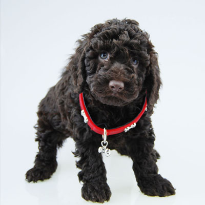 Chevromist Kennels Spoodle puppy (Poodle (Mini or Toy size X Cocker Spaniel)