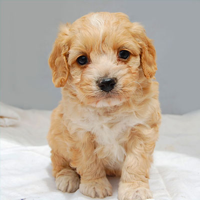 Chevromist Kennels Spoodle puppy (Poodle (Mini or Toy size X Cocker Spaniel)