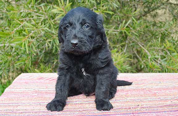 Black Groodle puppy