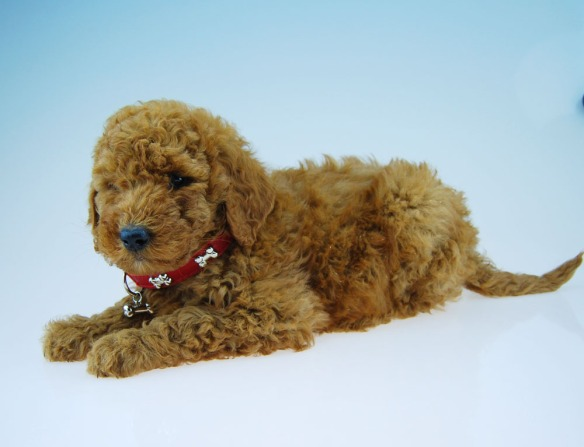 Chevromist red wool coat Labradoodle puppy