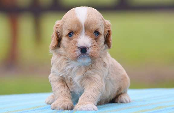 Cavoodle puppy with white blaze