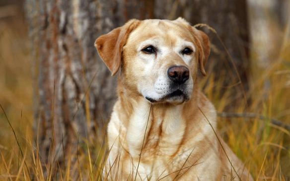 Older Labrador
