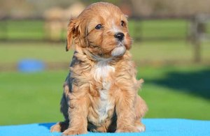 Apricot Cavoodle puppy gazing into the distance
