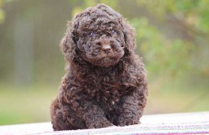 Chocolate wool coat Labradoodle puppy
