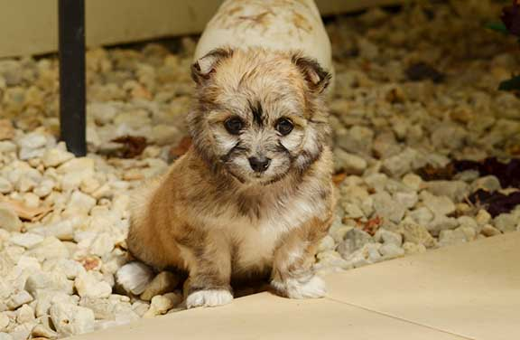 Sable Maltese X ShihTzu puppy in the patio
