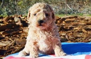 Apricot Poochon Puppy in the sun