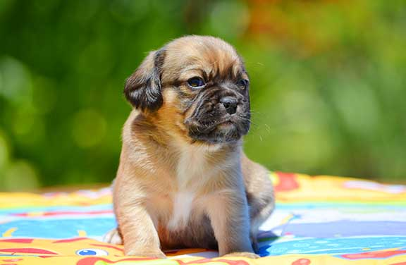 Fawn Puggle puppy enjoying the day