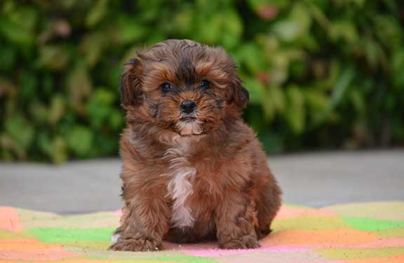 Well behaved Shihpoo puppy