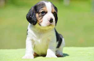 Chevormist tricolour Beaglier puppy on a sunny day