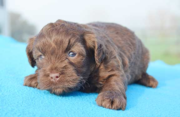 Chevromist chocolate Cavoodle puppy
