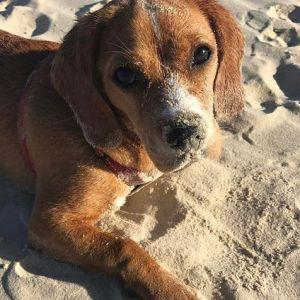 Chevromist Beaglier Maple at the beach