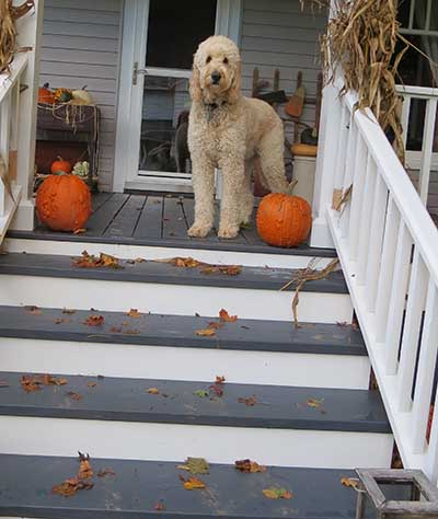 Labradoodle on steps