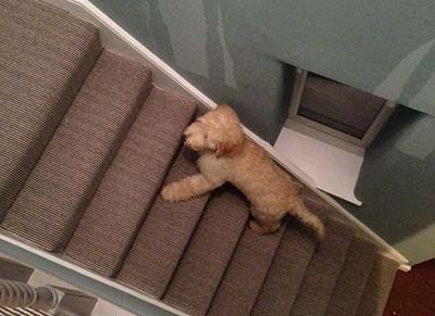 Labradoodle on the stairs