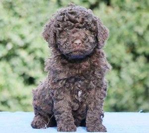 Mini-Groodle-Puppy-GDPOM1B