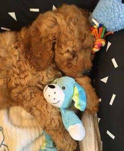 Chevromist Groodle puppy