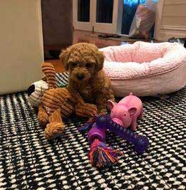 Chevromist Poochon Puppy Polly in her new home
