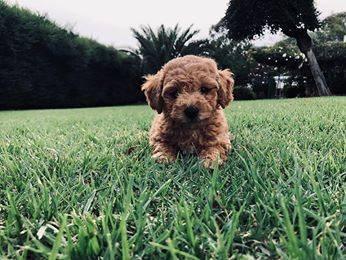 Chevromist Poochon Puppy Polly on the grass