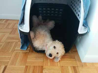 Groodle Crate training