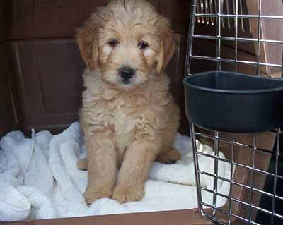Puppy crate training a Groodle