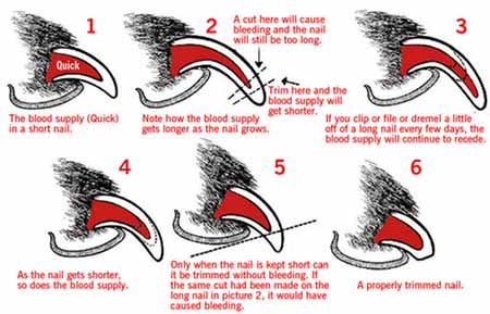 How to clip a dogs nails