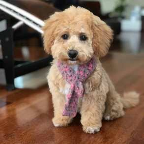 Poochon puppy Mocha Chevromist