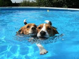 Beagliers swimming