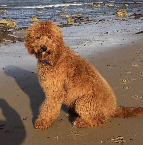 Chevromist Groodle at the beach